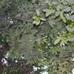 Pé de abacate (2)